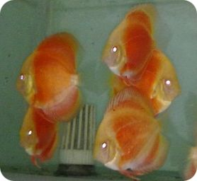 Albino Blood Red Discus Fish - 3-4 inch